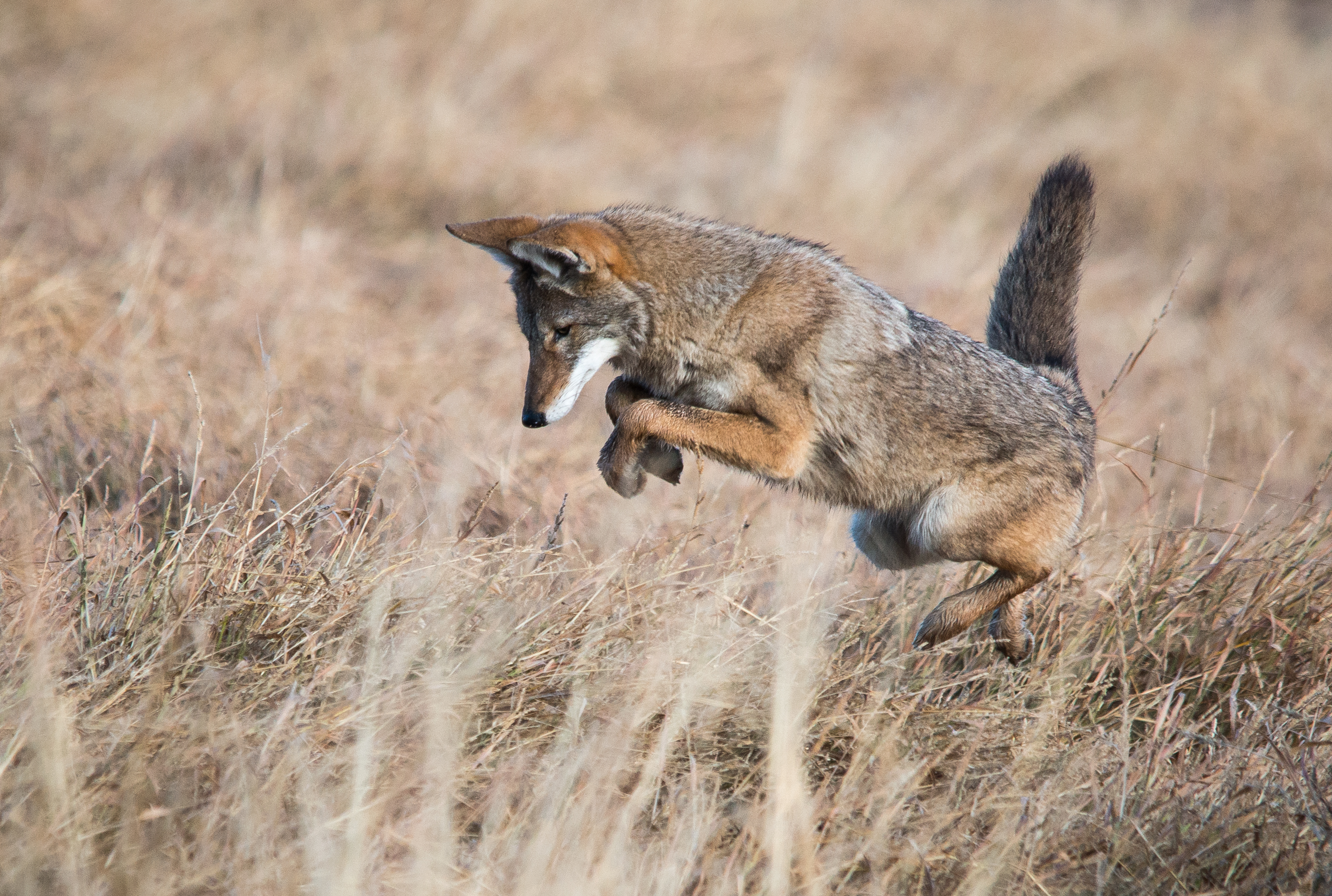 Coyote hunting for rodents - Coyotes help to keep rodent populations in check