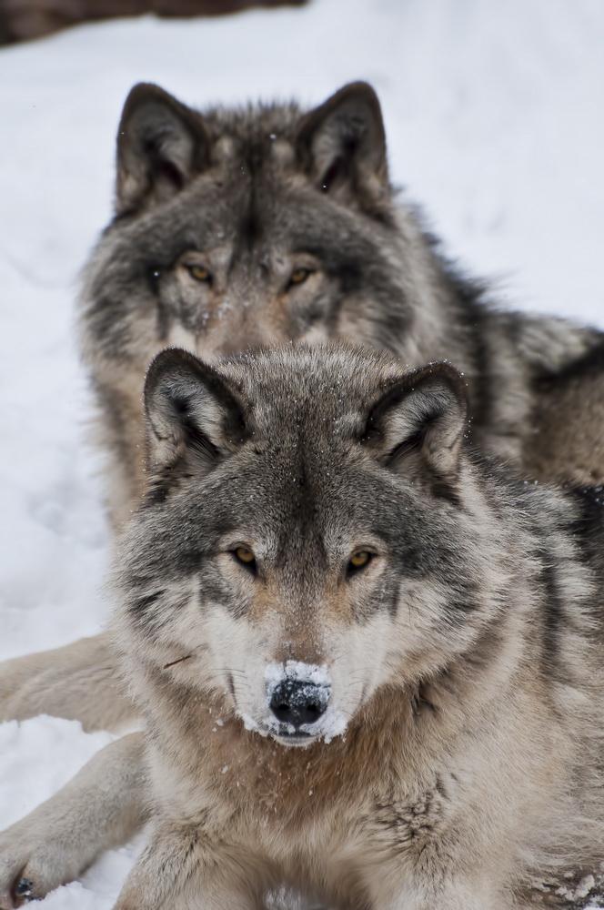 Timber Wolf Pair