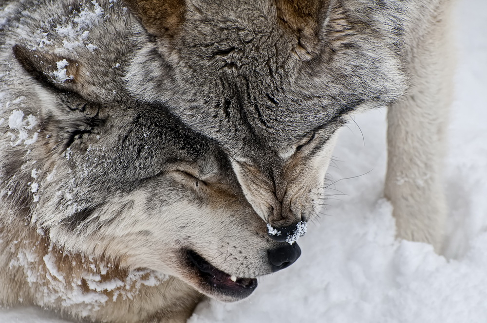 Timber Wolf Pair in Winter